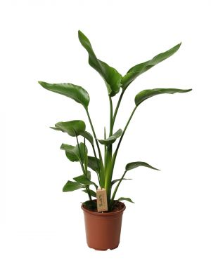 Paradijsvogelplant XL