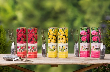 Set met mix van 6 Polyantha rozen