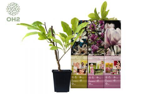 Set met mix van 3 magnolia's