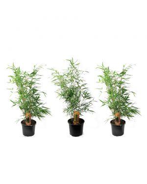 Set van 3 groene niet-woekerende bamboe planten