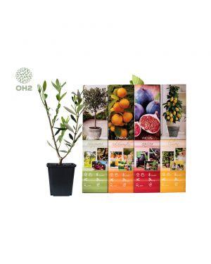 Set van 4 mediterrane fruitbomen
