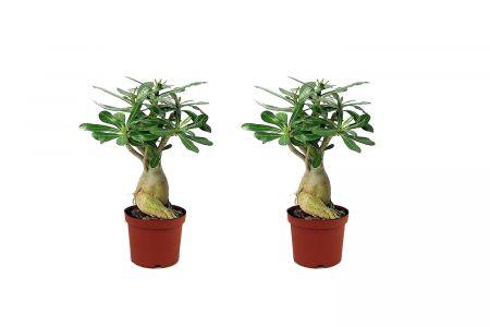 Set van 2 woestijnrozen